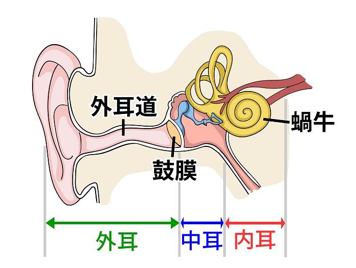 耳の内部構造